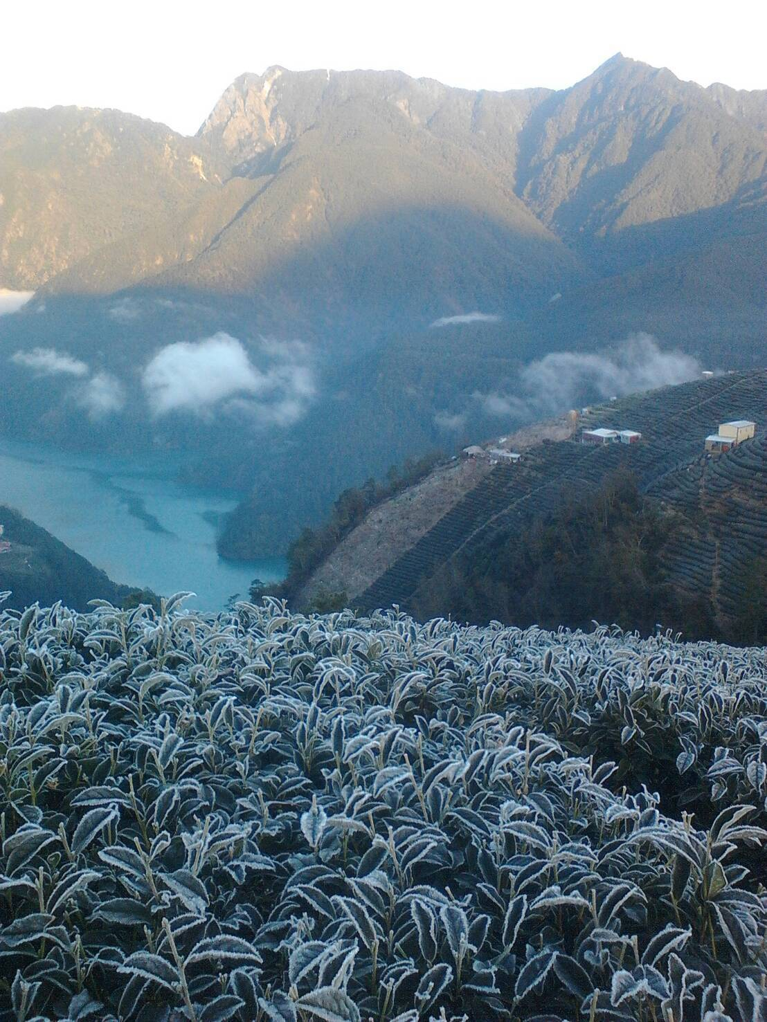 南投縣清境、廬山地區茶園昨天因為低溫茶園出現冰柱奇景,連茶葉上也覆上一白霜,相當...
