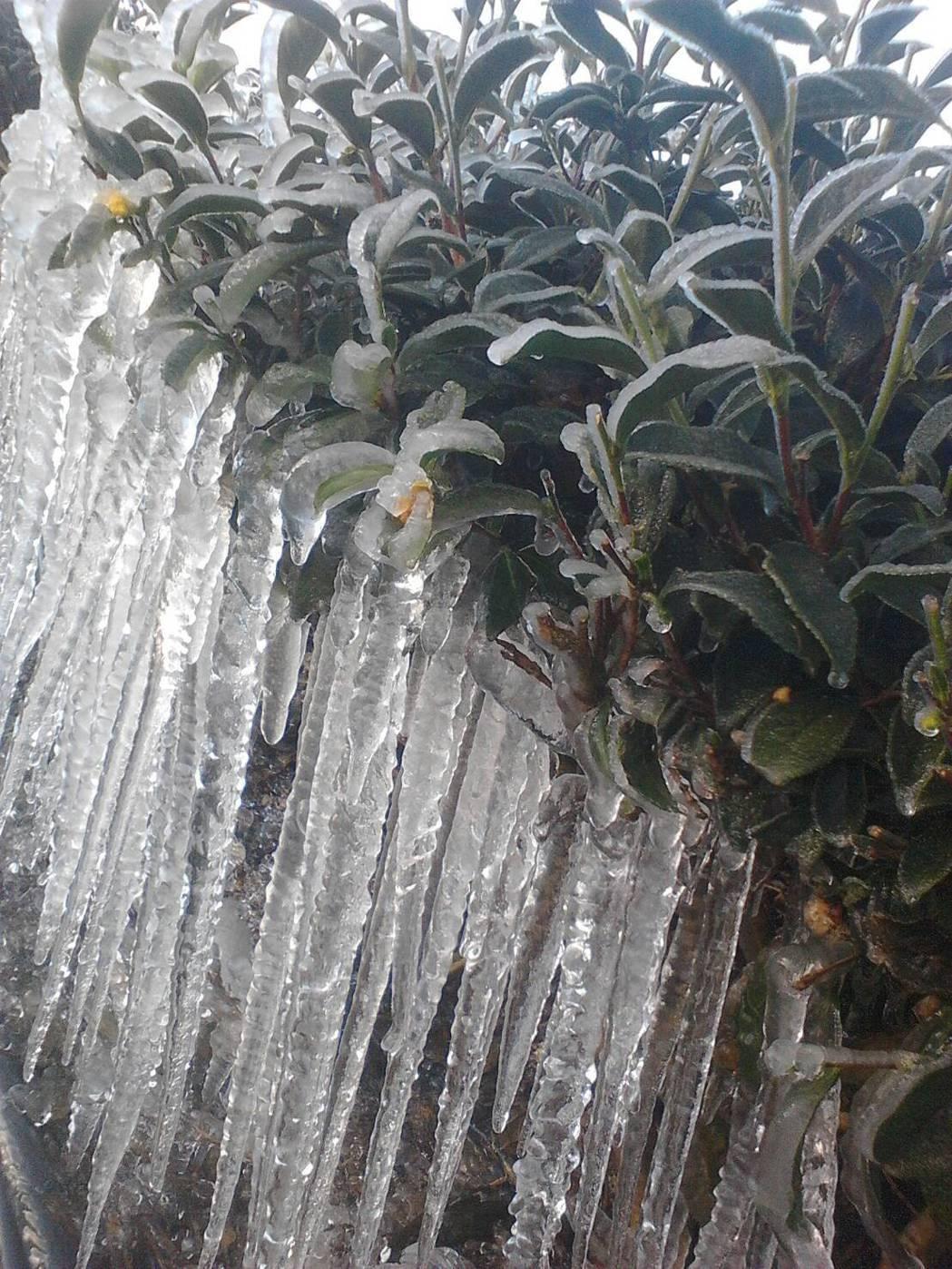 海拔1500公尺的仁愛鄉清境、廬山地區茶園,今天清晨因為低溫,茶園出現冰柱奇景。...