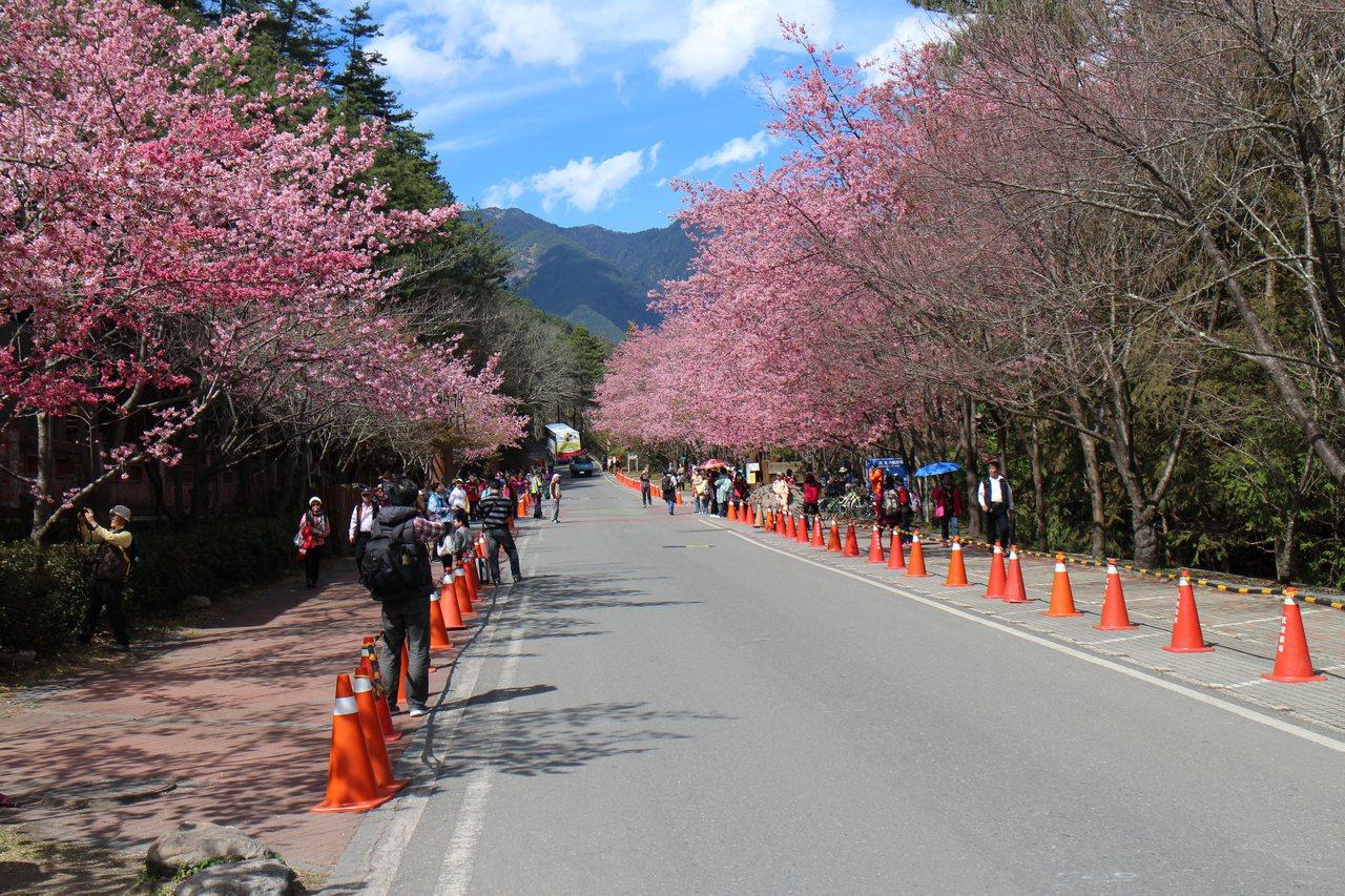 一年一度的武陵櫻花季,即將於2月登場。圖/摘自公路總局官網