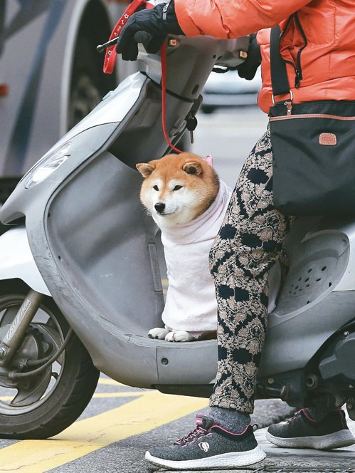 民眾遛毛小孩,不忘給牠穿上冬衣禦寒。 記者鄭清元/攝影