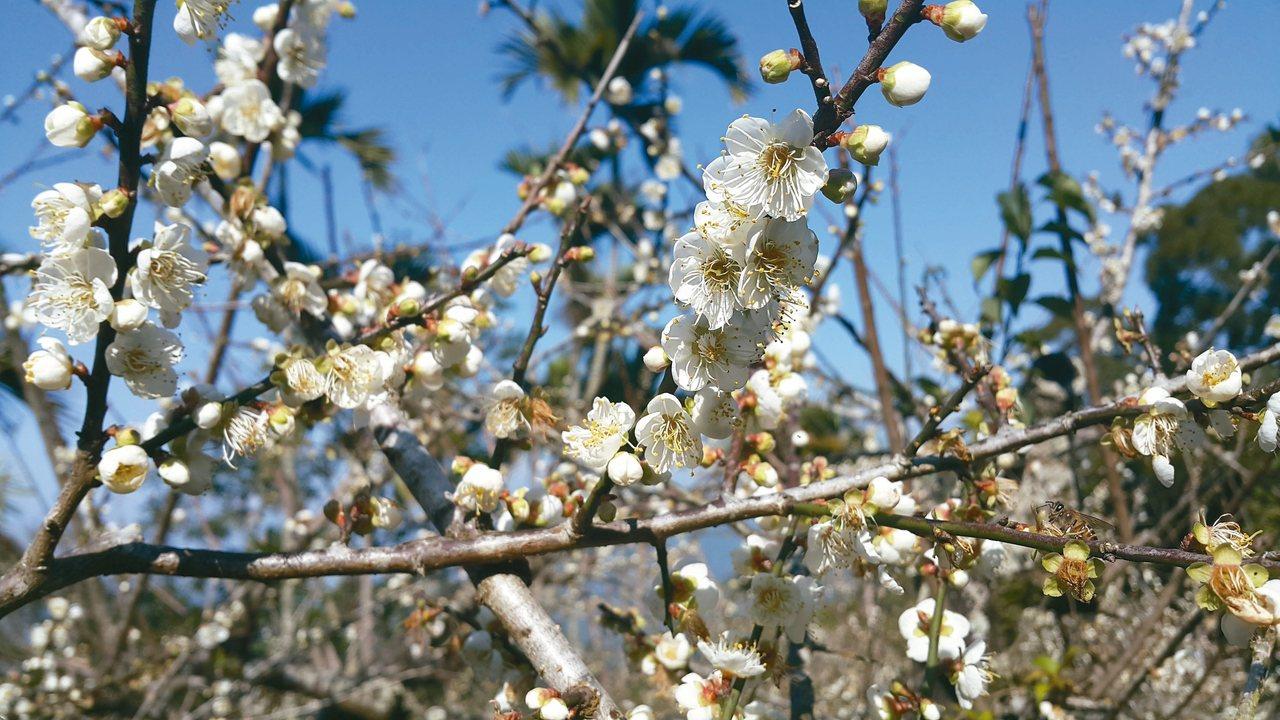 甲仙六義山步道的梅花已綻放七成以上。 記者徐白櫻/攝影