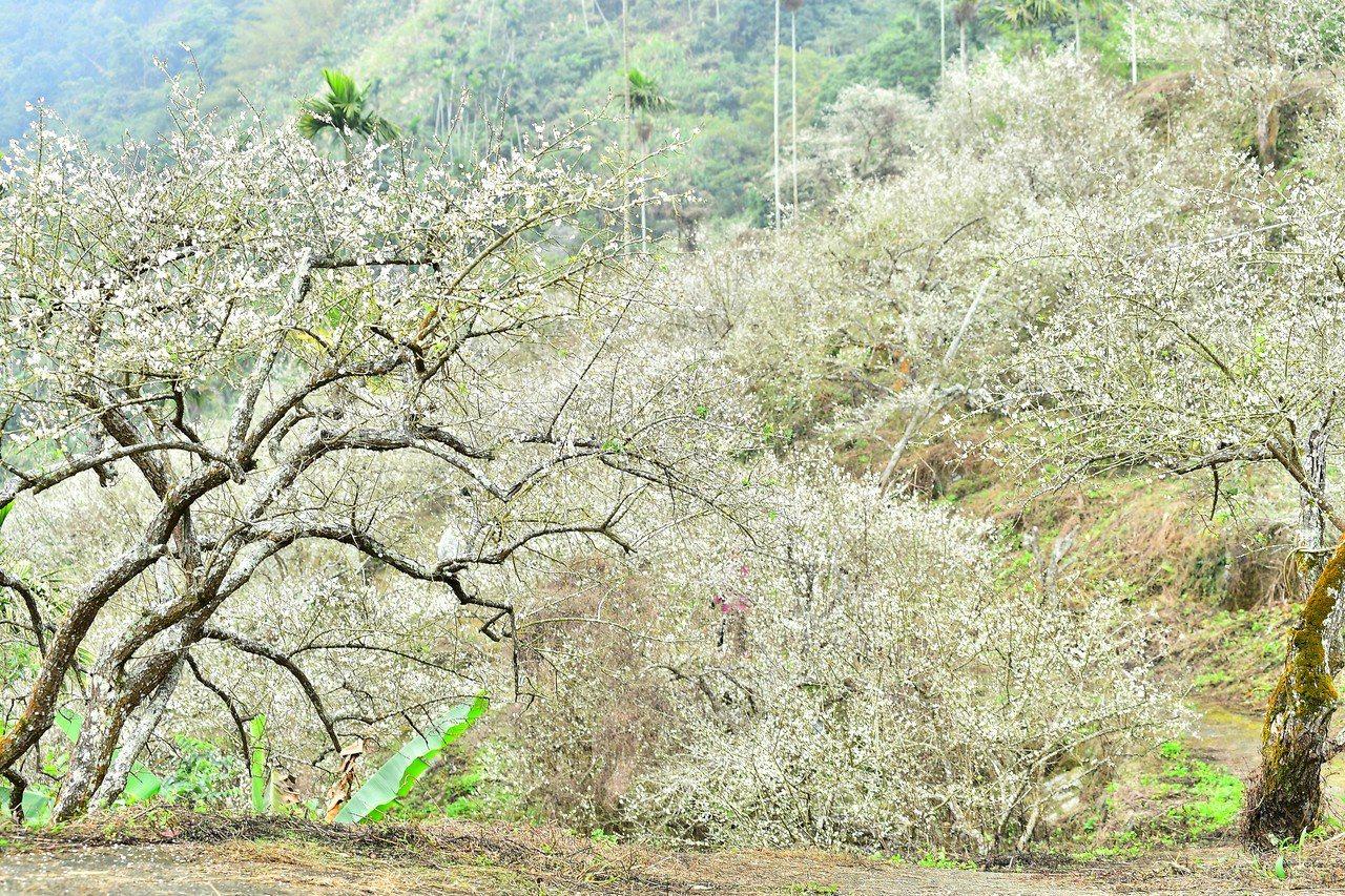 台南楠西梅嶺風景區梅花已全面盛開。圖/永康社大攝影老師翁宗憲提供
