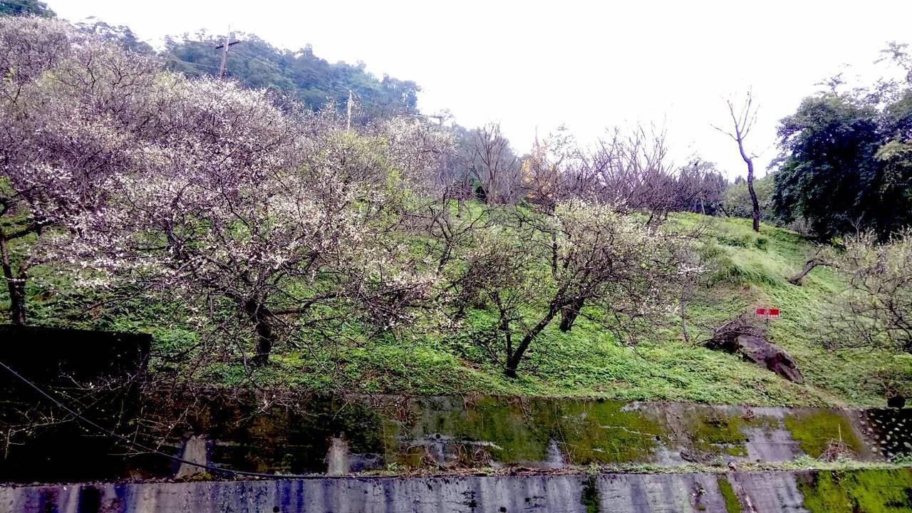 新北市中和區的「烘爐地」是著名的賞梅景點。圖/新北市農業局提供