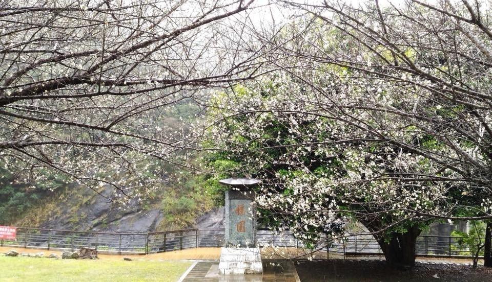 太魯閣天祥福園中的梅花已盛開。圖/太魯閣國家公園管理處提供