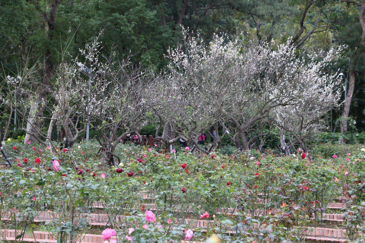 士林官邸梅花目前開花約2至3成。圖/台北市公園處提供
