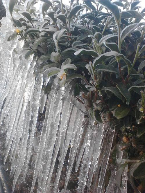南投仁愛鄉清境、廬山地區茶園,因為低溫,茶園出現冰柱奇景。圖/南投縣農業處提供
