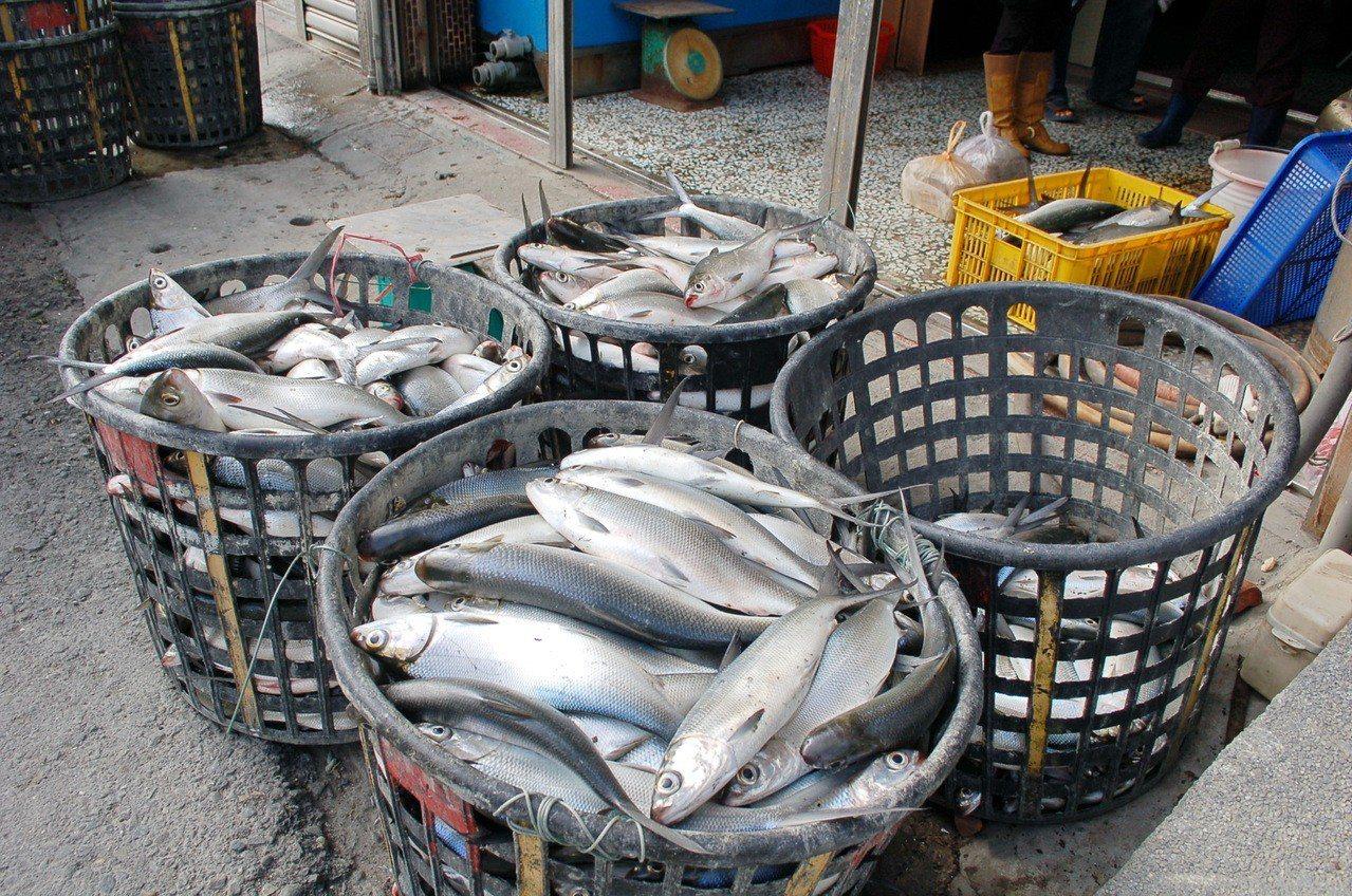 雲林沿海地區虱目魚被凍死,數量還不多,業者打撈起來趁鮮出售。記者蔡維斌/攝影