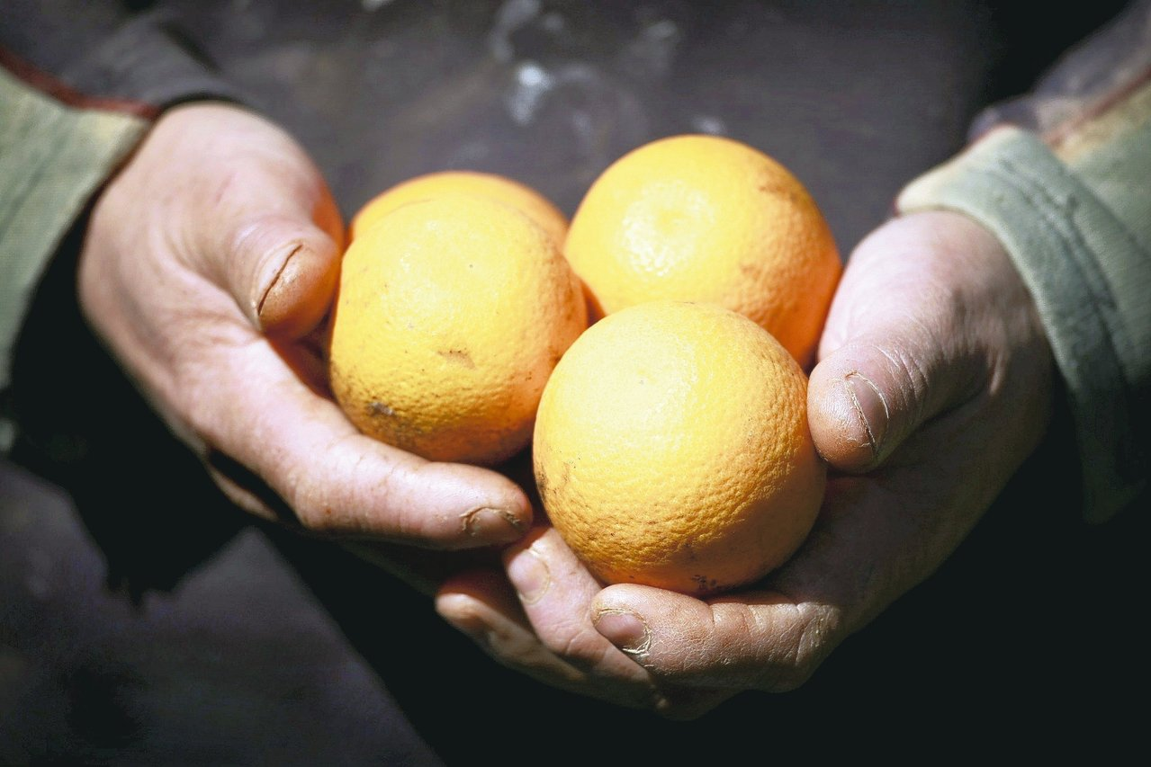 澳洲農民手持柑橘。 路透
