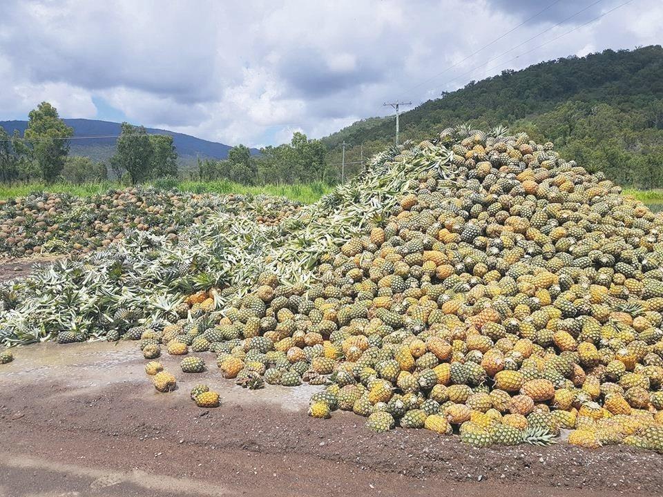 澳洲過剩鳳梨堆成小山。 圖/取自NQ Paradise Pines臉書