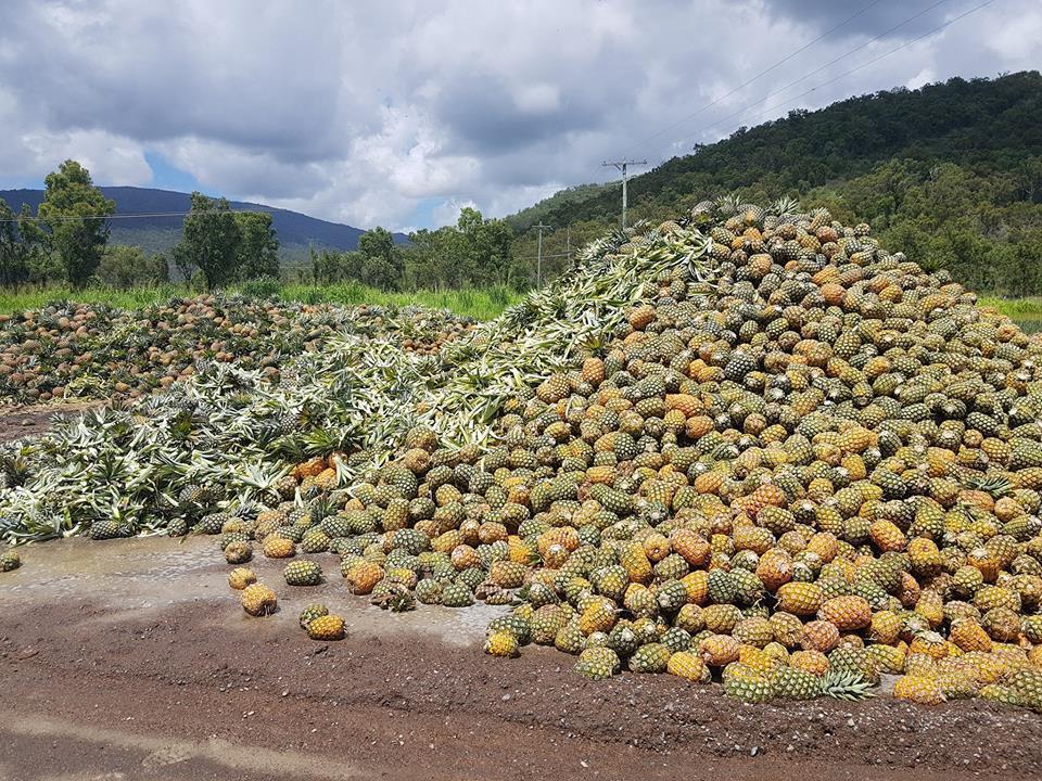過剩鳳梨堆成小山。取自NQ Paradise Pines臉書