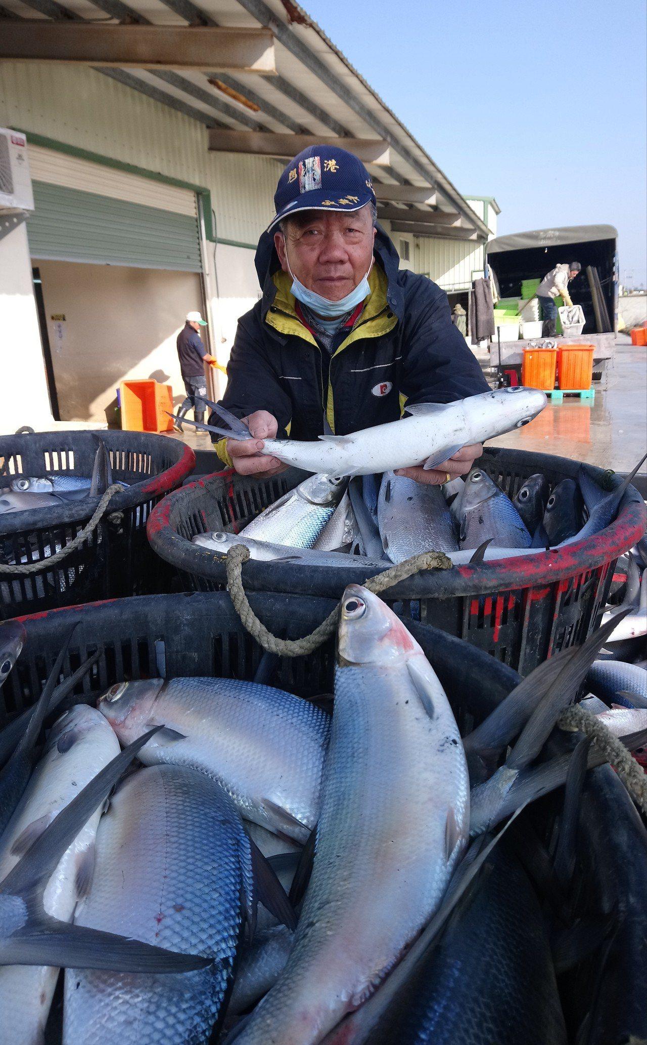 低溫寒害導致虱目魚凍傷,魚民搶收後怨找不到工廠處理。 記者卜敏正/攝影