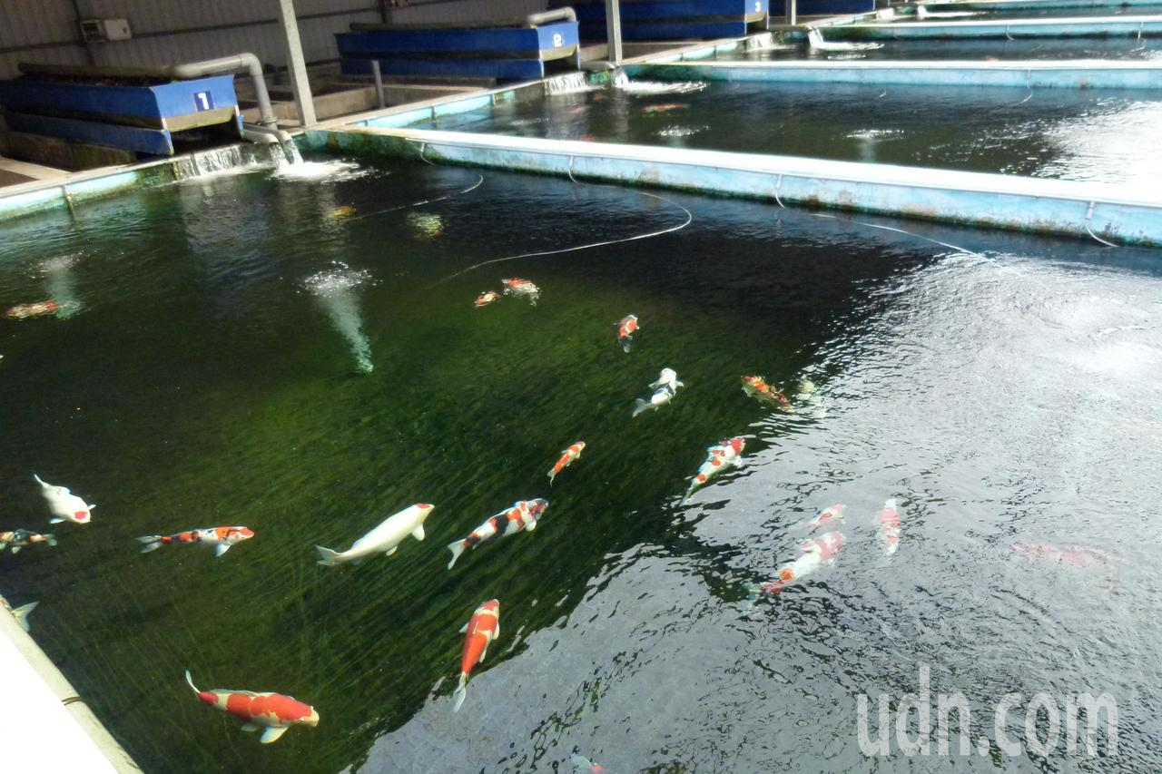 超過1萬元的錦鯉可以「寄養」。記者鄭國樑/攝影