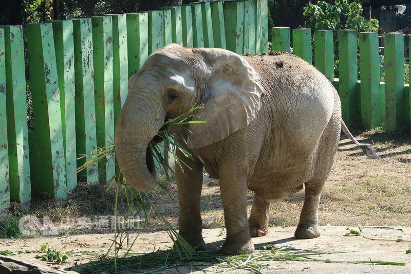 高雄壽山動物園的大象阿里,是壽山動物園的「鎮園之寶」,至今仍很依賴長年照顧牠的保...
