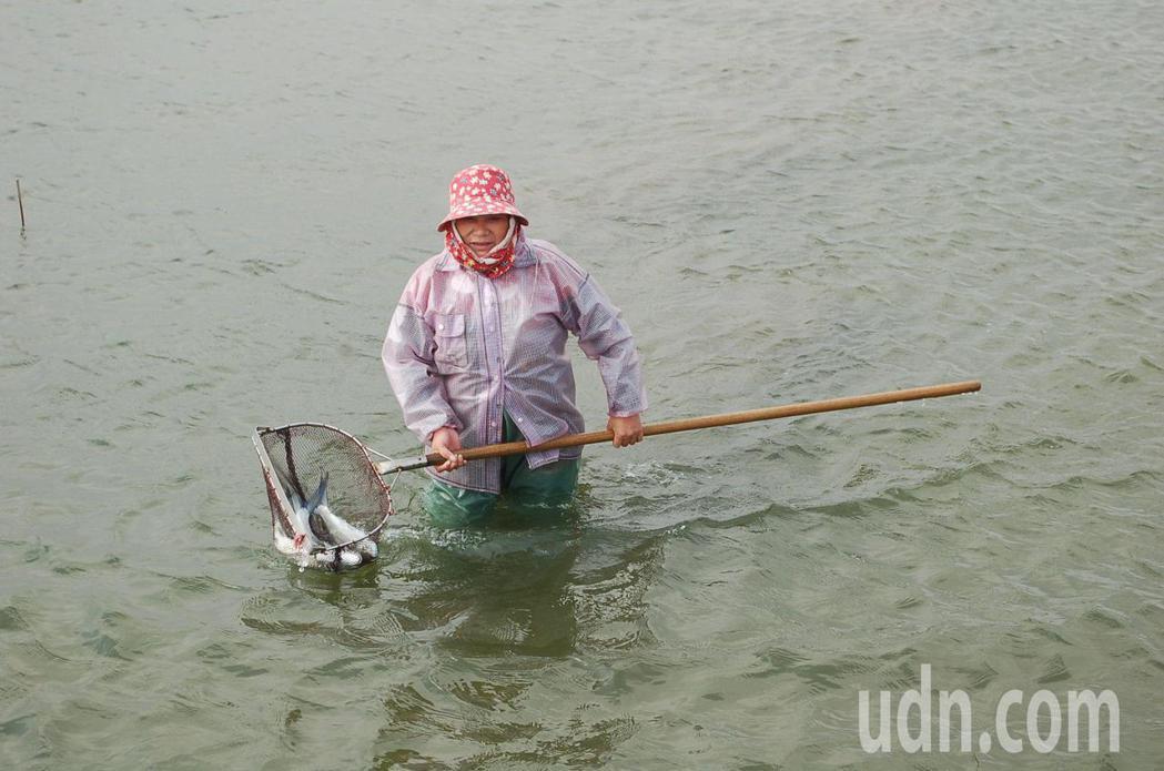 雲林沿海虱目魚持續凍死,業者把浮起的魚撈起。記者蔡維斌/攝影