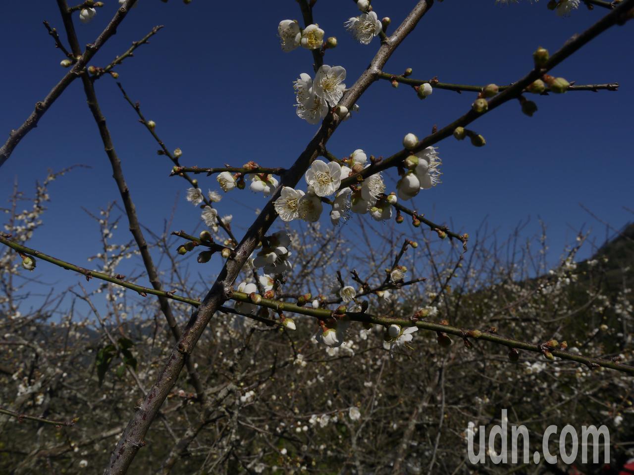 六龜寶來的梅花約開7成,後續還有1周賞花期。記者徐白櫻/攝影