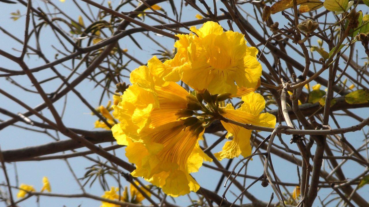 八掌溪畔每年初春黃金風鈴木盛開,市府舉辦賞花月活動,吸引賞花客造訪。本報資料照