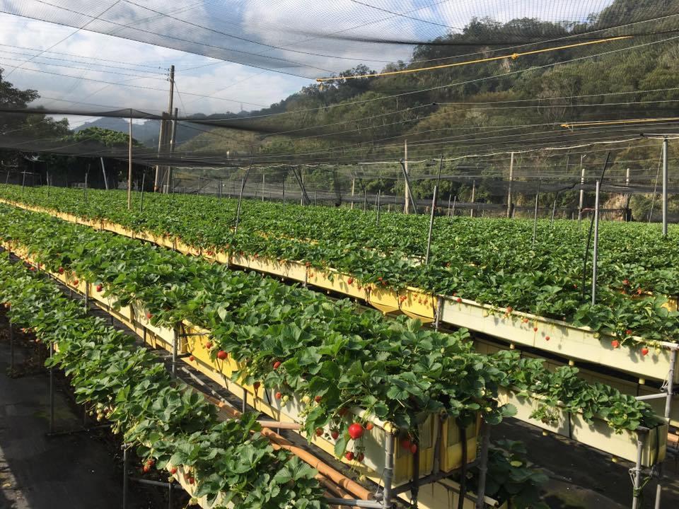 六合高架草莓 FB