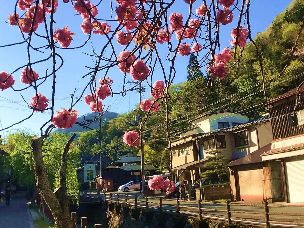 城崎溫泉街上春季盛開的櫻花。圖/有行旅提供。
