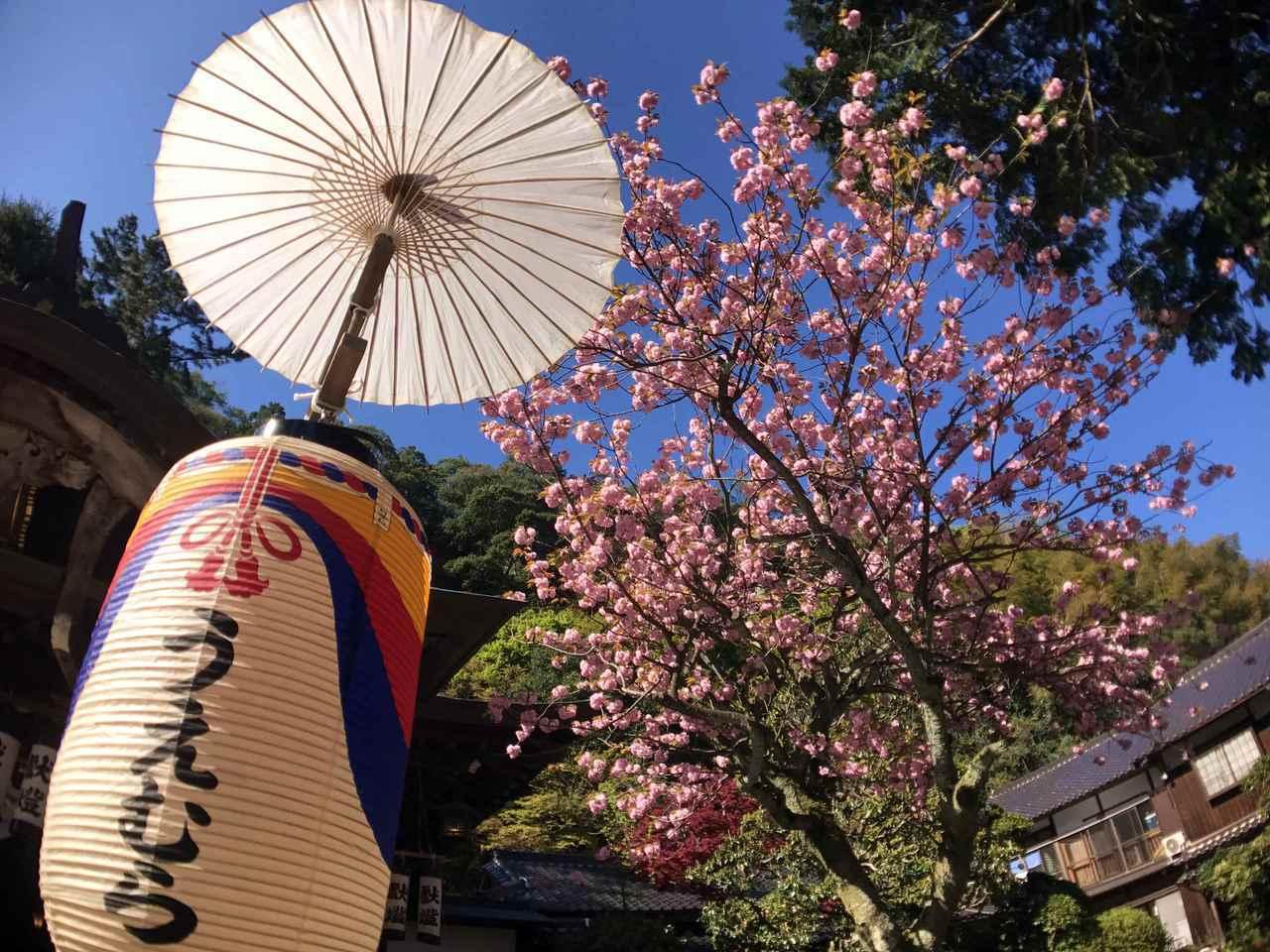 溫泉街上隨處可見盛開的春櫻。圖/有行旅。