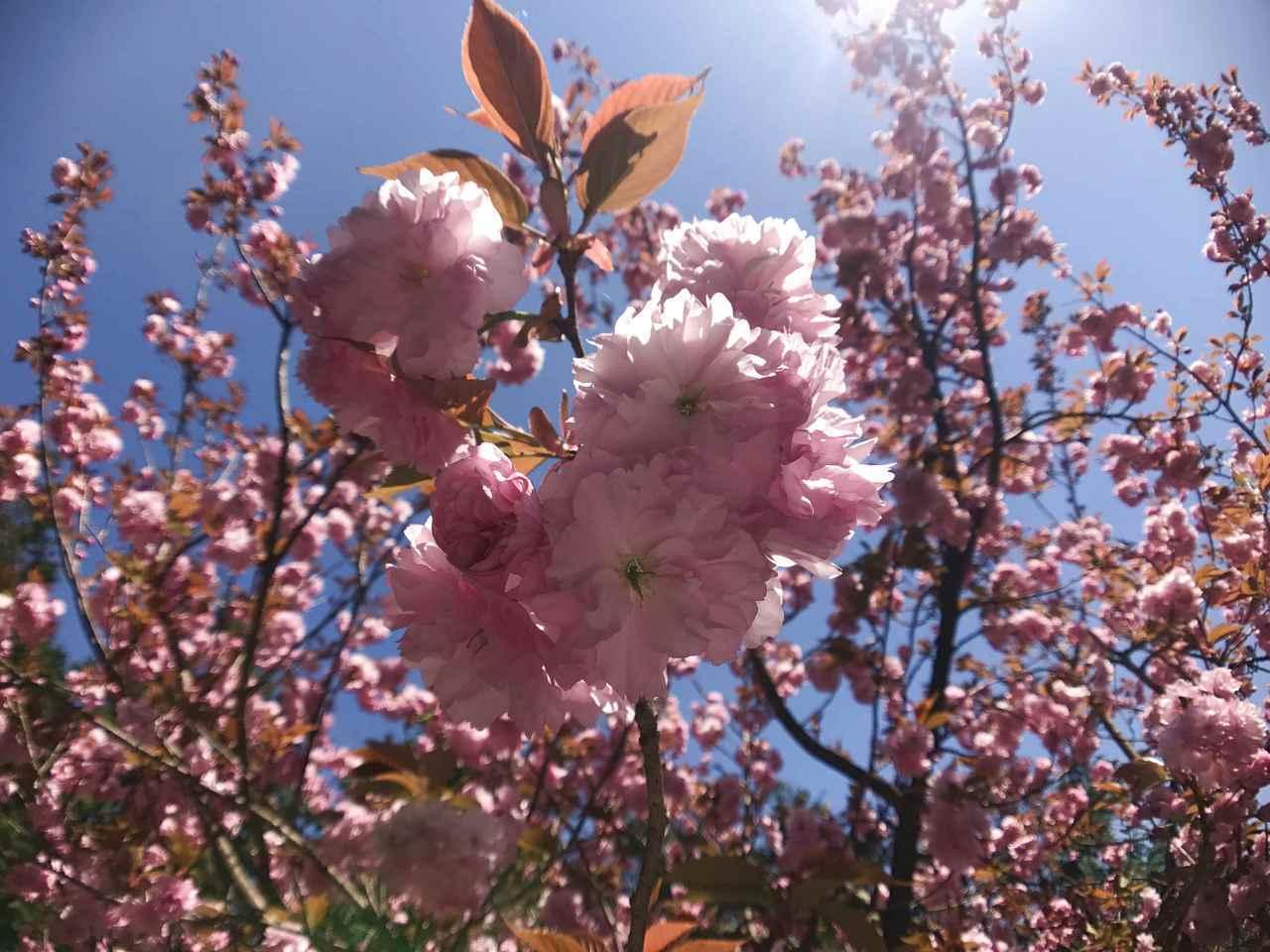 日本著名的賞櫻景點「竹田城」。圖/有行旅提供。