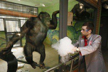 窺見動物心智之窗的可能性,遠比想像中來得更多。圖為俄羅斯一隻11歲的黑猩猩正在看人類的科學實驗表演。 圖/路透社
