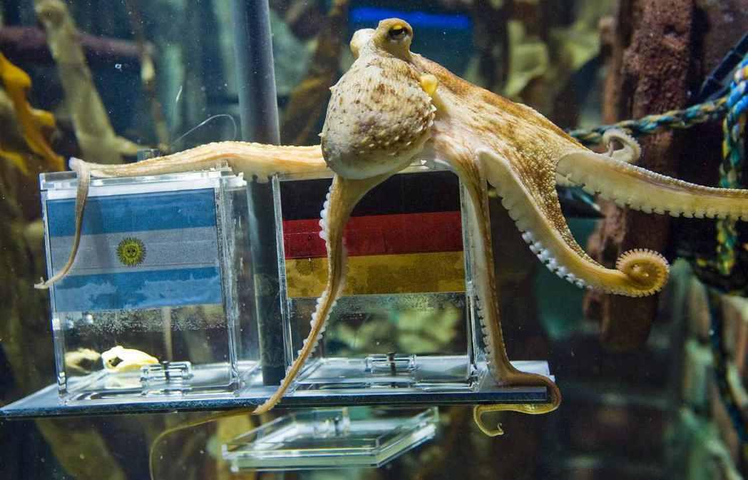 圖為2010年章魚哥保羅,據稱能準確預測德國國家足球隊的比賽結果。 圖/路透社