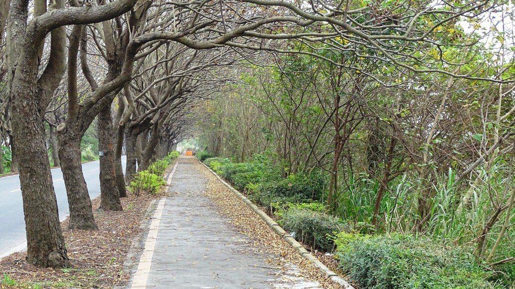彰化縣溪湖鎮東螺溪畔的台灣欒樹綠色廊道,入冬後枝枒崢嶸另有一番美景。記者何烱榮/攝影