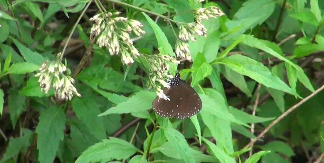 紫斑蝶與高雄茂林區向來畫上等號,但近年數量有下降趨勢,生態保育人士憂心紫蝶幽谷盛名不保。 記者王昭月/攝影