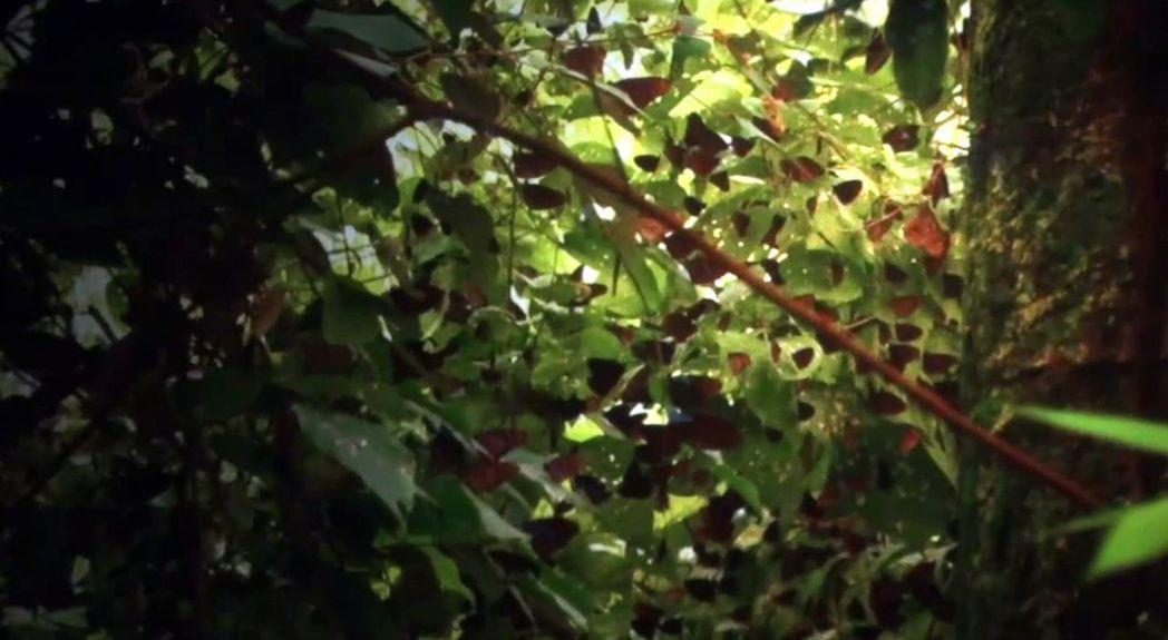 高雄茂林區的紫蝶幽谷,極盛時期數量達一百萬隻,但近年疑因暖化及棲地破壞等因素,數量減少。 記者王昭月/翻攝