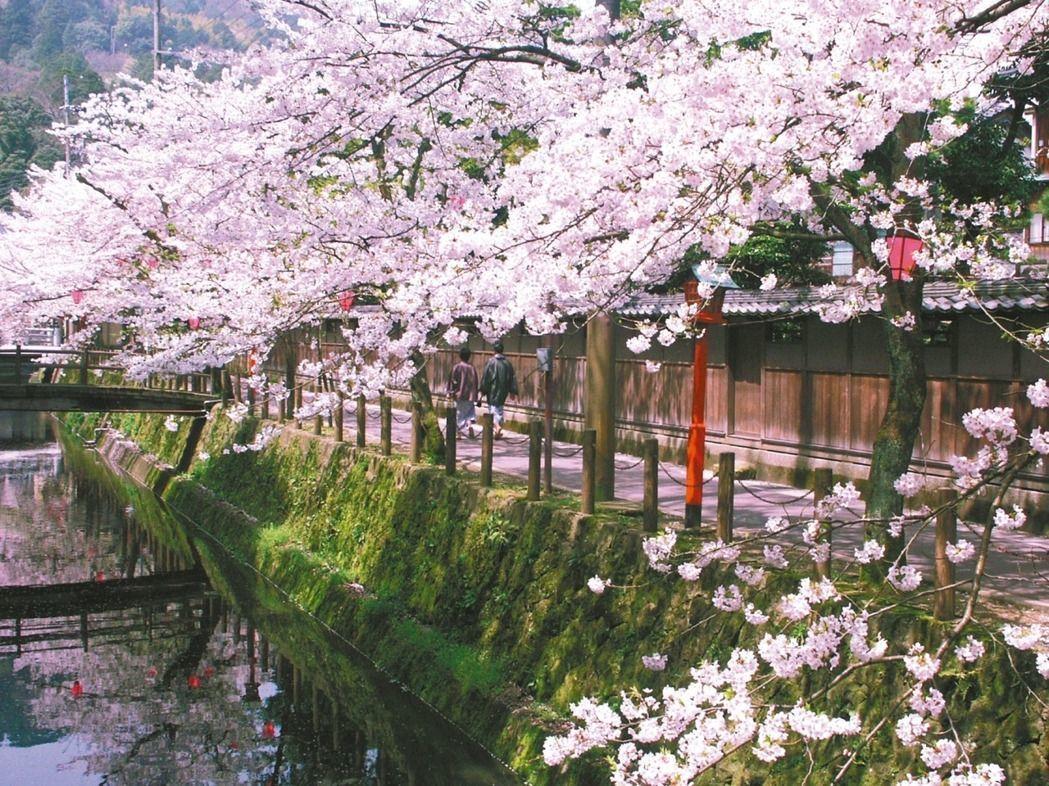 許多台灣遊客喜歡趁櫻花盛開期間前往賞櫻。圖/本報系資料照