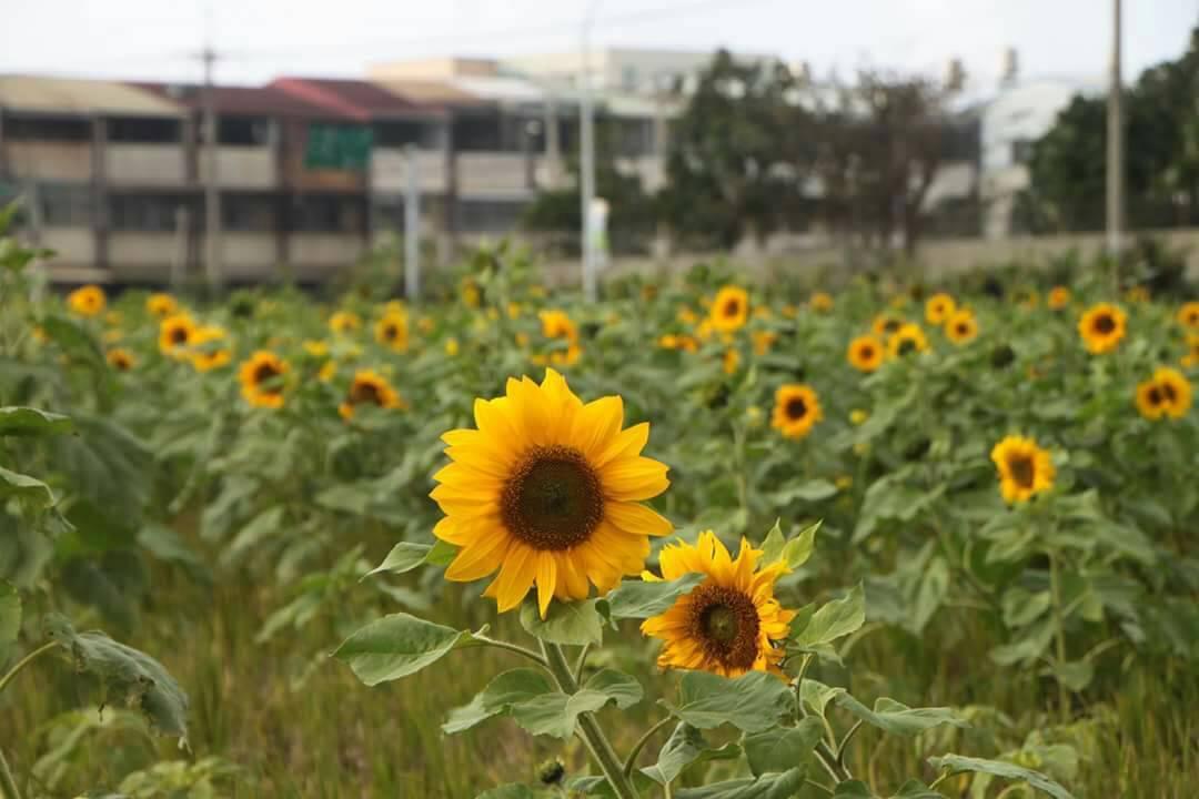 一朵朵鮮黃盛開的向日葵,在藍天下隨風搖曳,美麗景緻,吸引不少民眾駐足拍照。圖/清...