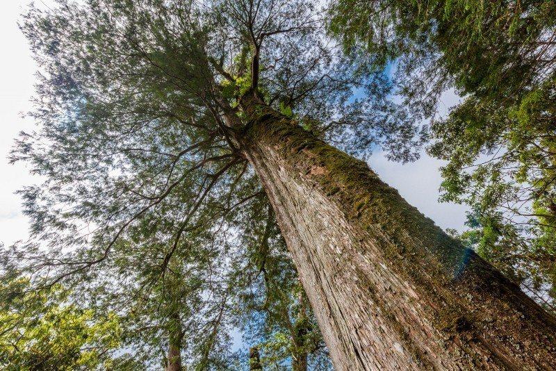 跑友們可欣賞參天的神木,吸飽芬多精。 力麗觀光/提供