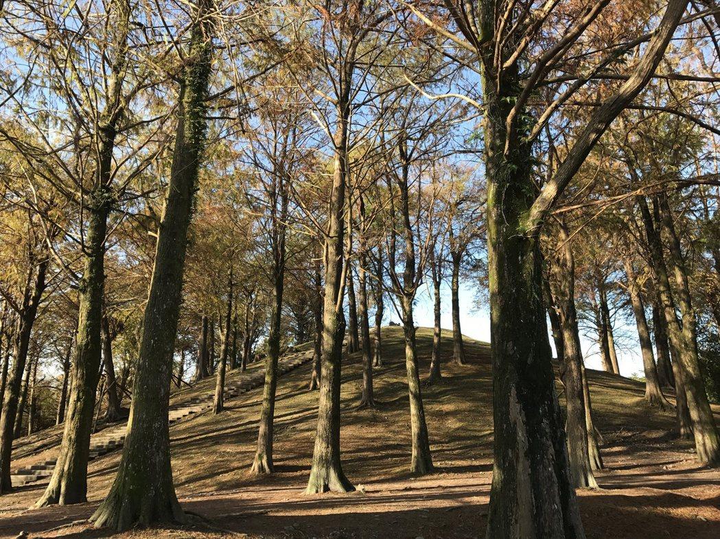 羅東運動公園落羽松林,隨四季變化,美極了,尤其是冬季轉紅時。記者吳淑君/攝影