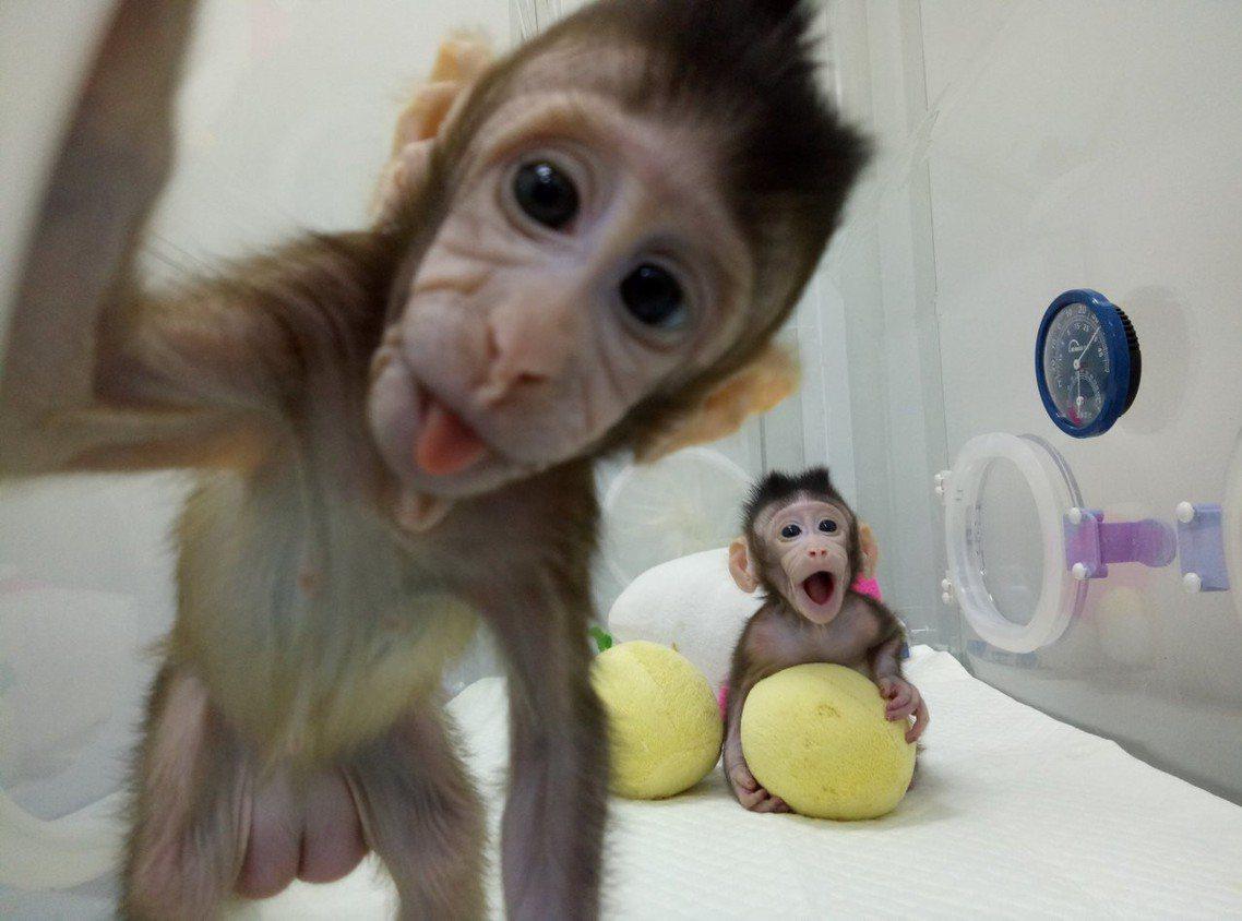 中國複製長尾獼猴「中中」與「華華,」合稱「中華」,有象徵中華兒女的含意。 圖/路...