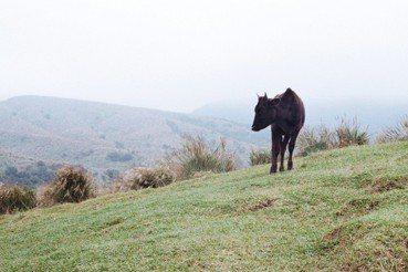 郭瓊瑩/為擎天崗的牛請命:我們需要留下這片草原的生態與歷史