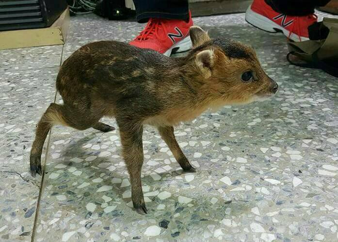 許婦一家拾獲的小山羌。圖/苗栗縣頭份警分局提供