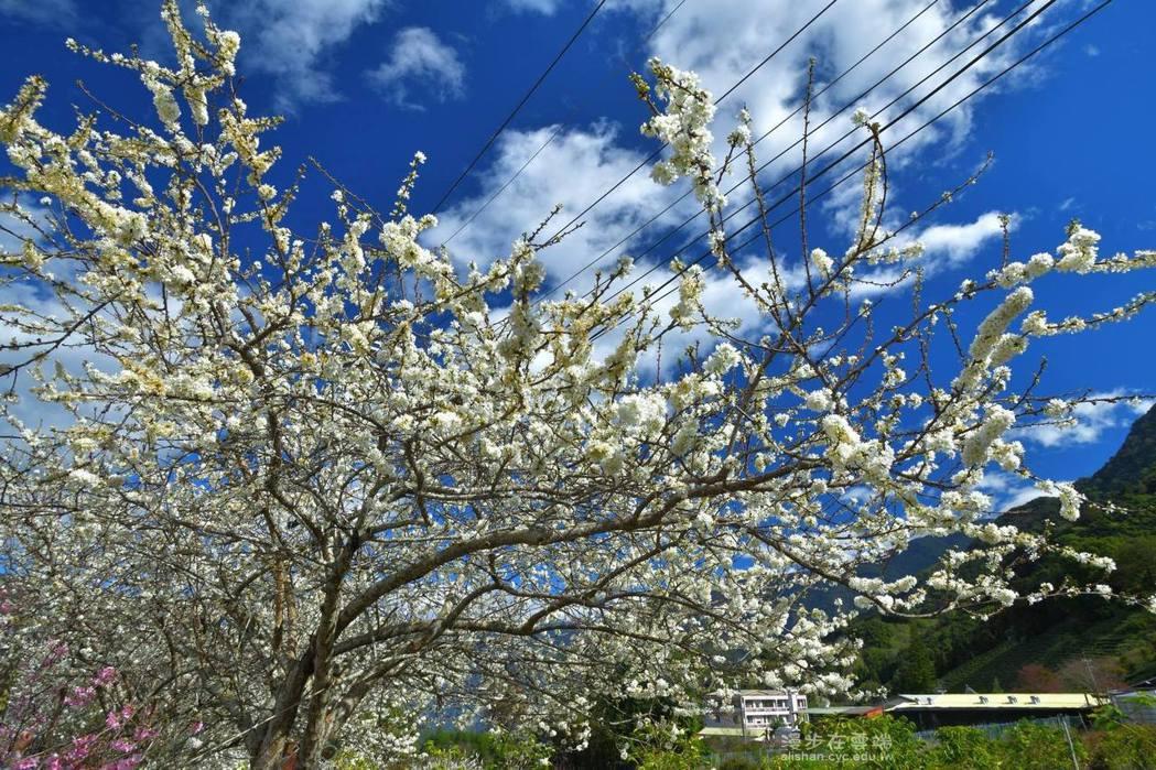 除了櫻花外,草坪頭的李花也已爆炸盛開。圖/漫步在雲端的阿里山授權使用