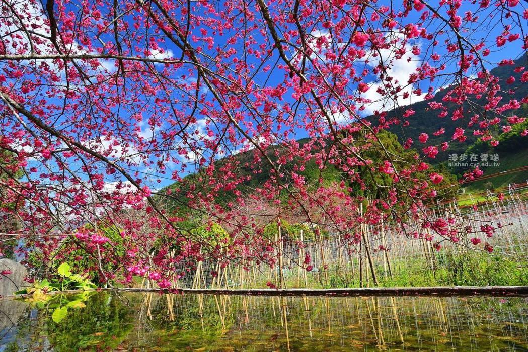 草坪頭水池旁的緋寒櫻也已盛開。圖/漫步在雲端的阿里山授權使用
