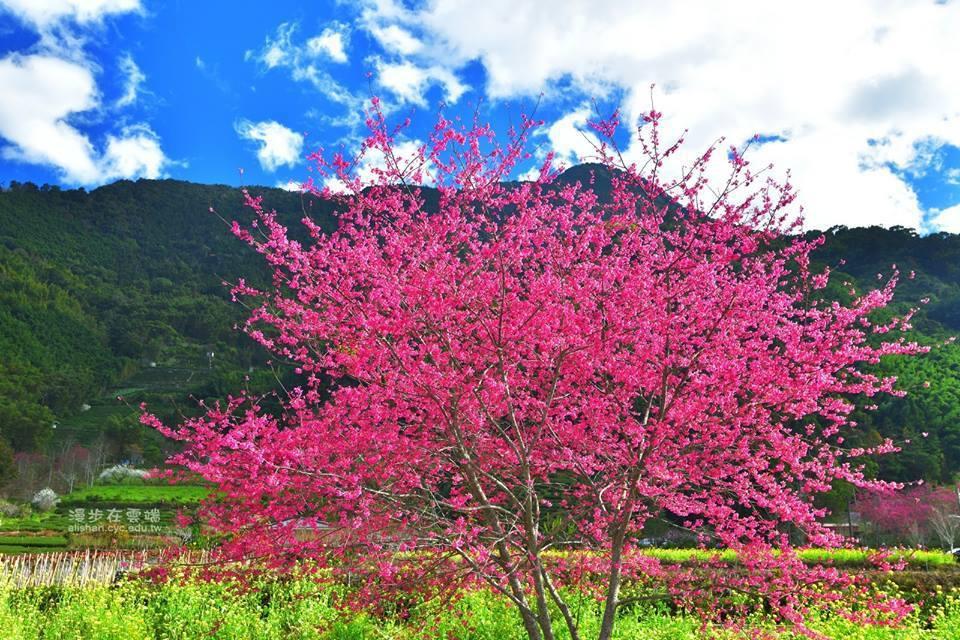草坪頭油菜花田旁的緋寒櫻已盛開。圖/漫步在雲端的阿里山授權使用
