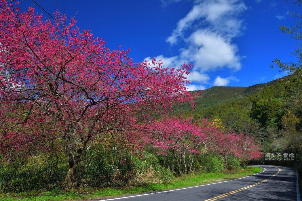 台18線阿里山公路83.6K處的緋寒櫻。圖/漫步在雲端的阿里山授權使用