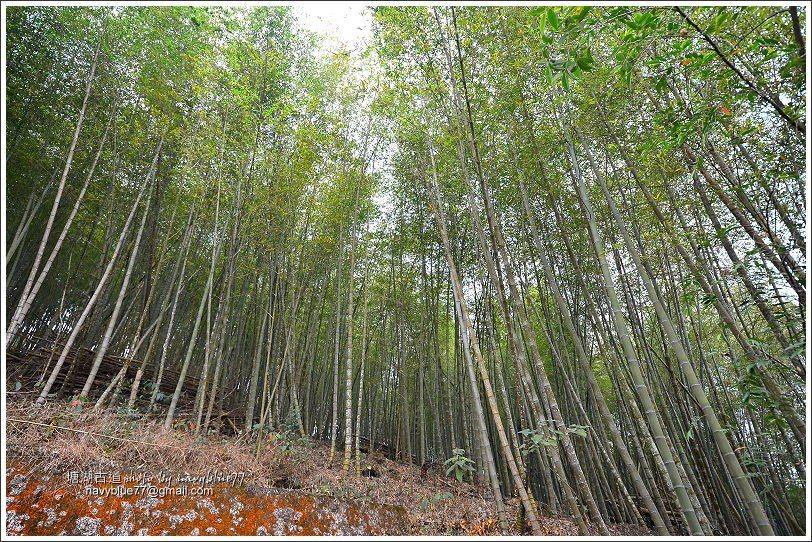↑過茶園續行會經過一片茂密的竹林。