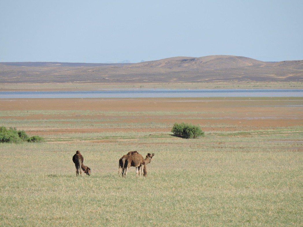 湖泊逐漸消失時,駱駝在湖畔吃草。