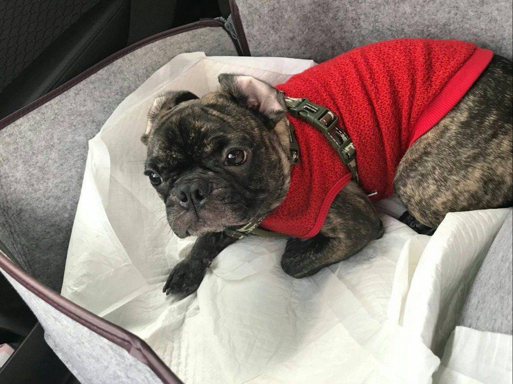 李維維為愛犬滿滿換上紅色新衣添喜氣。圖/伊林提供