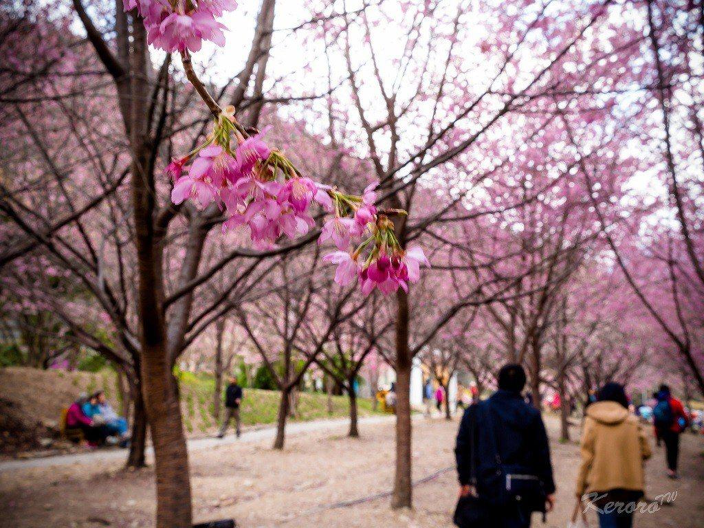 ▲南投武陵櫻花。(圖/攝影者:中岑 范姜, Flickr CC License)
