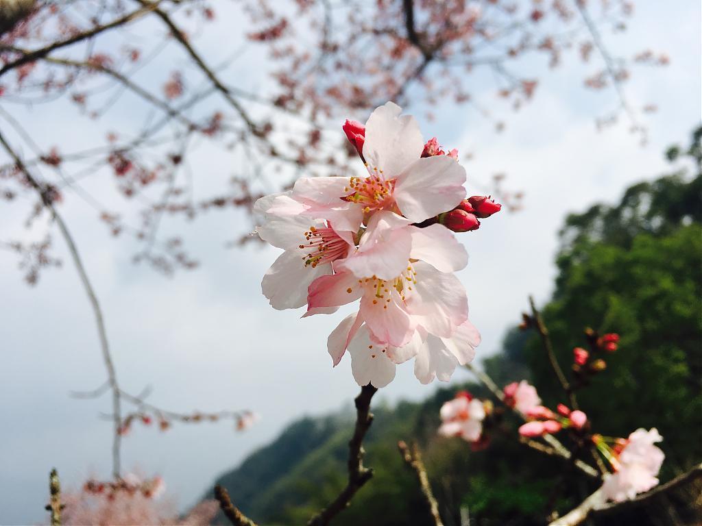 ▲阿里山櫻花。(圖/Tripbaa趣吧!達人帶路)