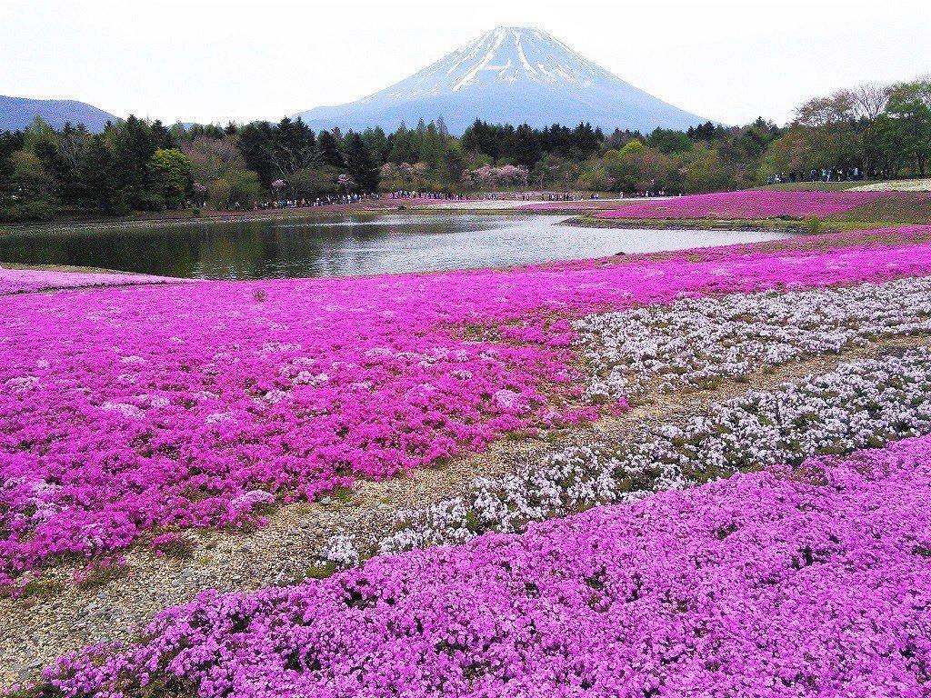 ▲富士山芝櫻季。(圖/攝影者:senngokujidai4434, Flickr...