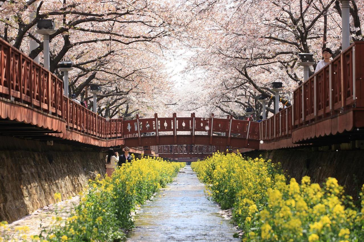 ▲韓國鎮海櫻花季。(圖/Tripbaa趣吧!達人帶路)