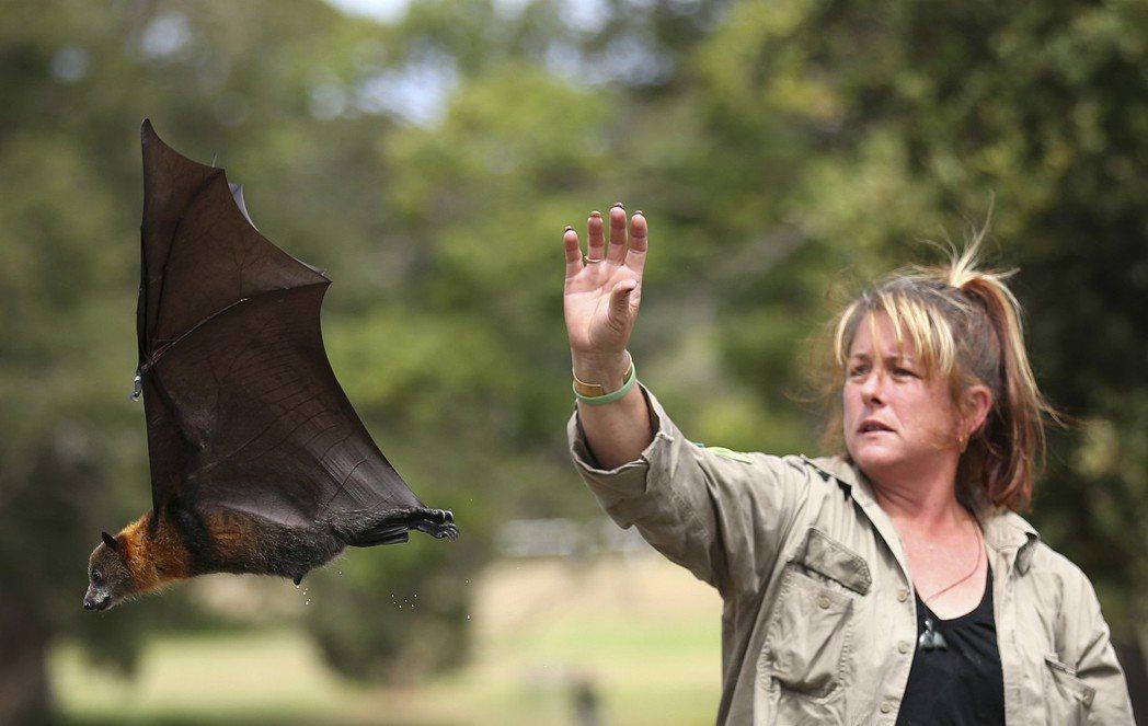 澳洲的狐蝠浩劫不單純是氣候所造成,也是由於樹木不斷被砍伐,蝙蝠已找不遮蔽處躲避高...