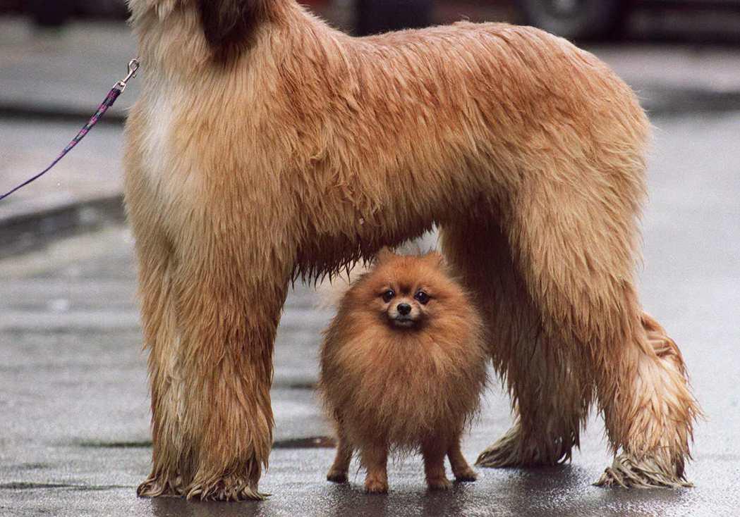 小狗與獵犬在外型上差異甚大,所具備的「功能」也各異。 圖/法新社