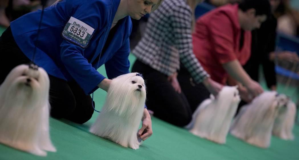 嬌小可愛的小型犬,深受淑女喜愛。 圖/路透社